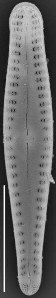 Gomphonema sierranum SEM1
