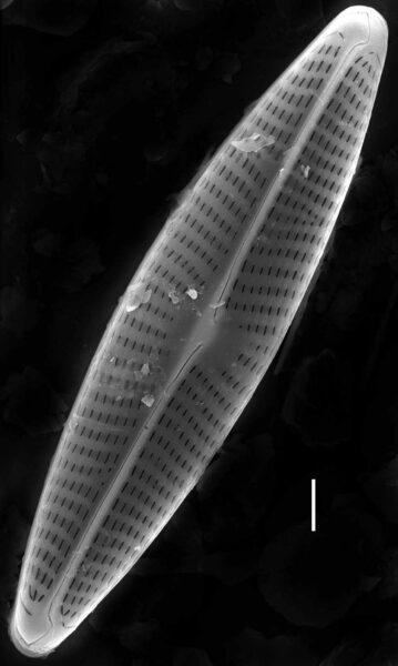 Navicula erifuga SEM1