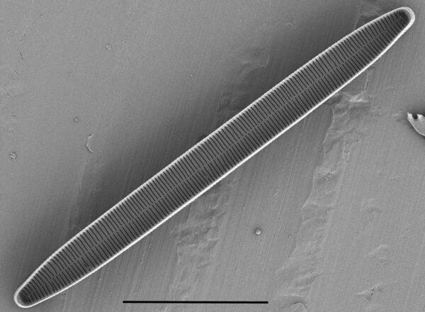 Fragilaria Nitzschioides  Or032144  North  Umpqua 2