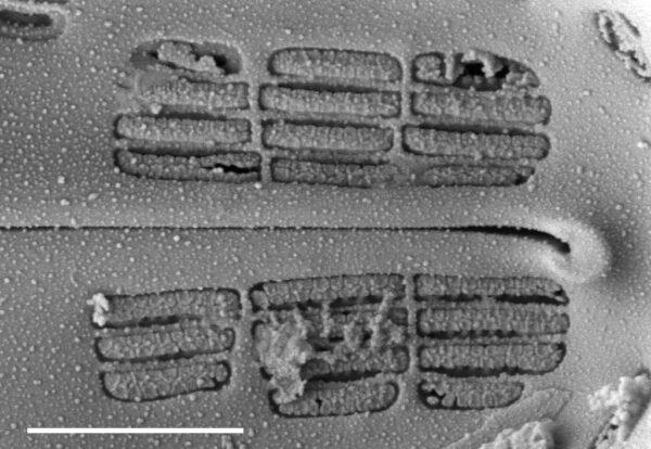 Navicula Cascadensis  Sem 3