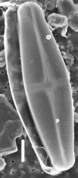 Staurophorabrantii Wholevalve  Sem