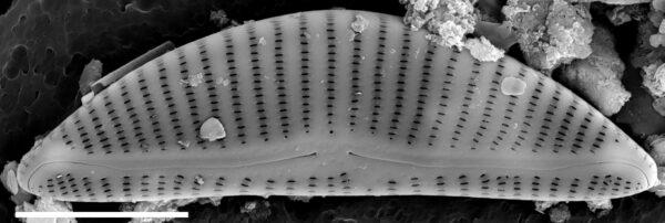 Encyonema minutum var. pseudogracilis SEM1