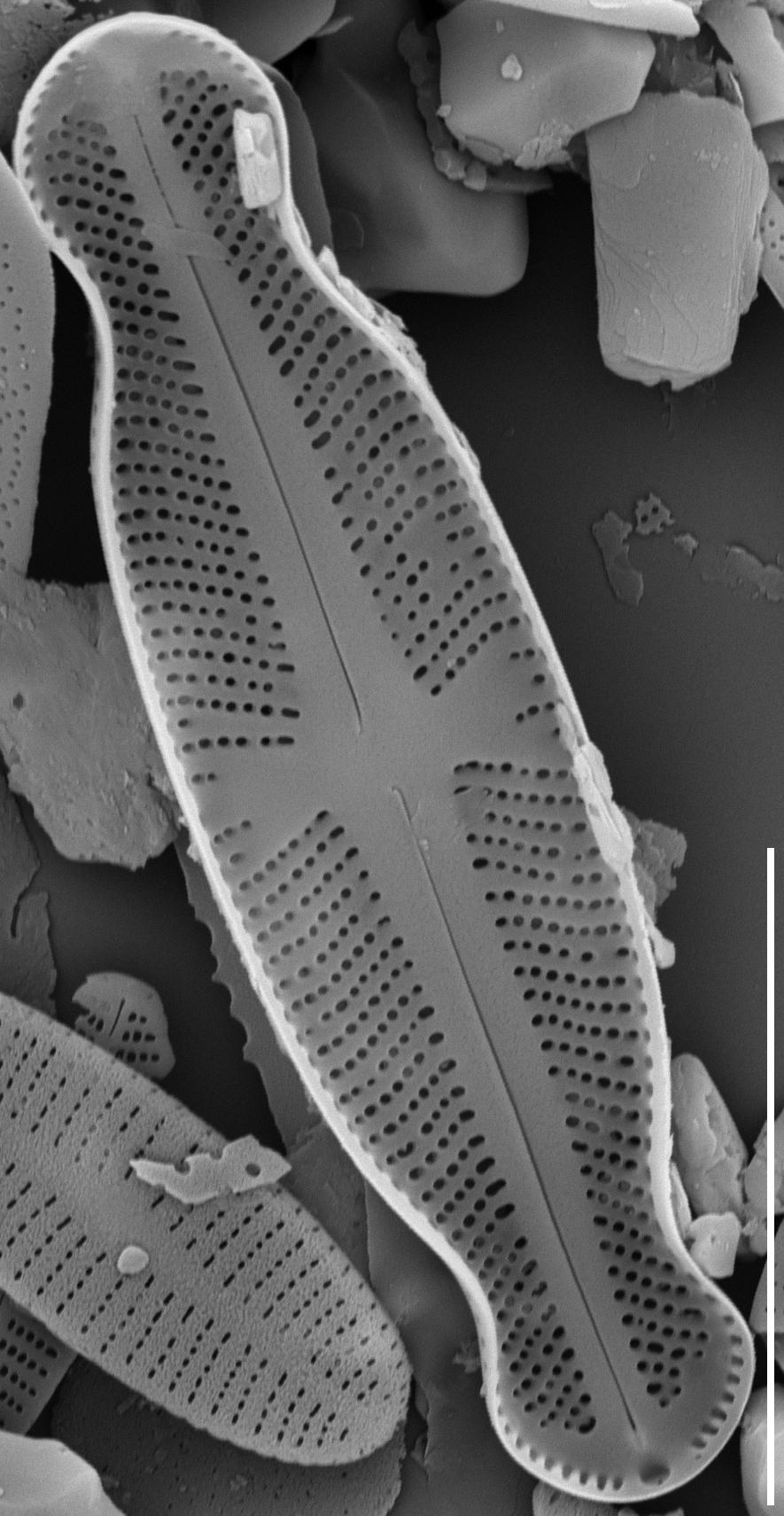 Sellaphora Japonica 10Um 15555 Mix 030
