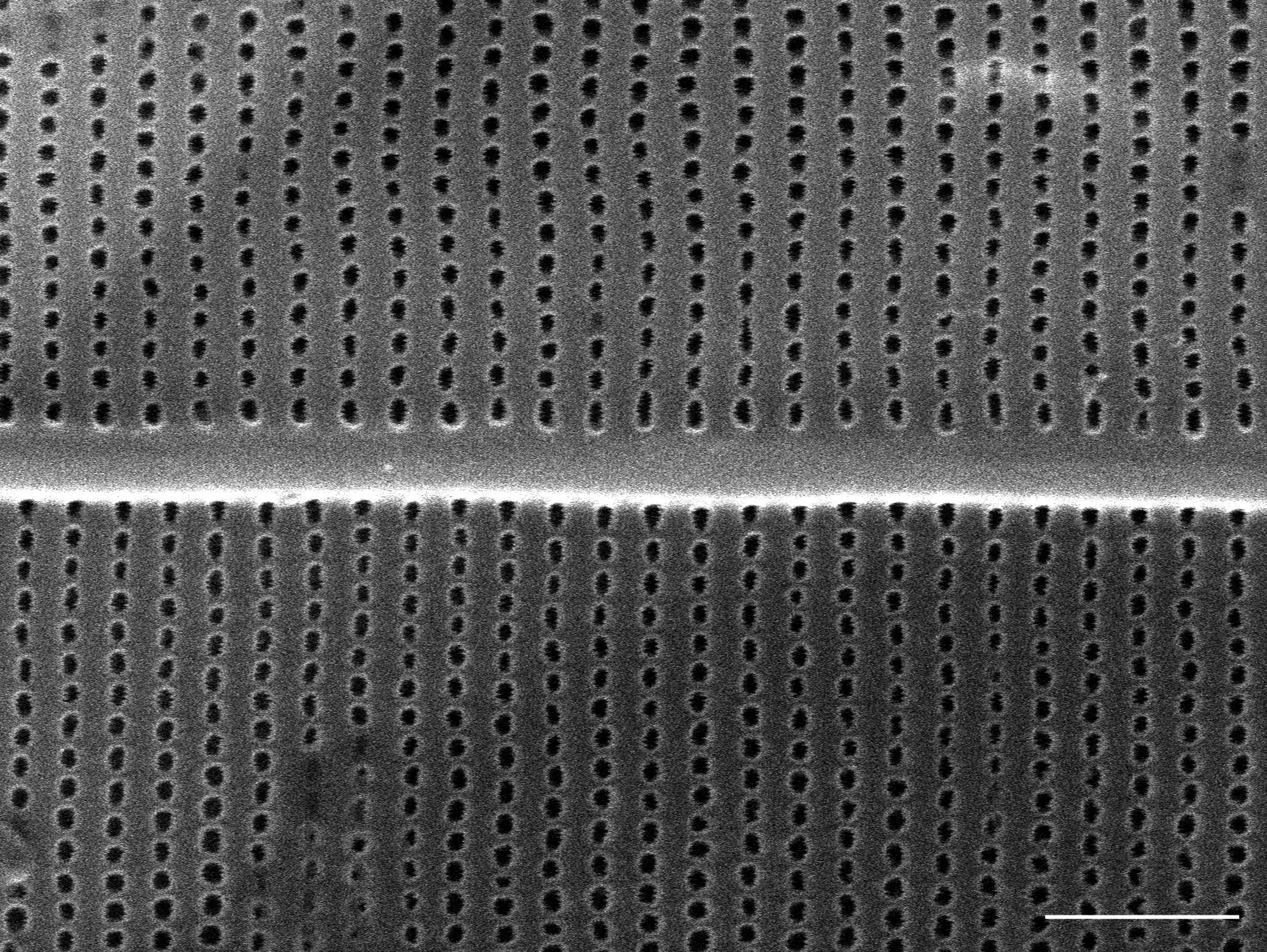 Amphipleura pellucida SEM1