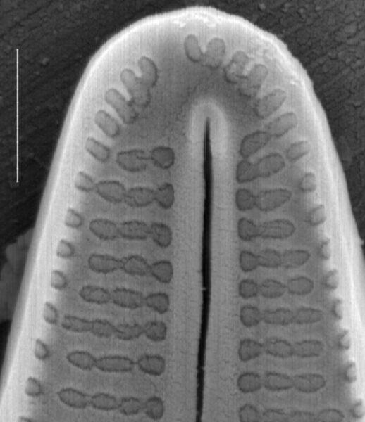 Achnanthidium deflexum SEM1