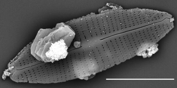 Craticula molestiformis SEM1