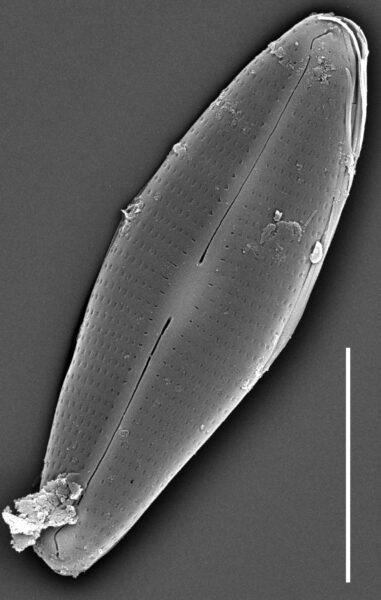 Craticula molestiformis SEM2