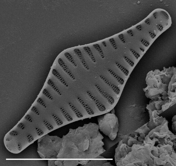 Punctastriata mimetica SEM1