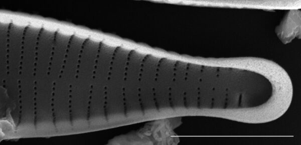 Fragilariforma virescens SEM3