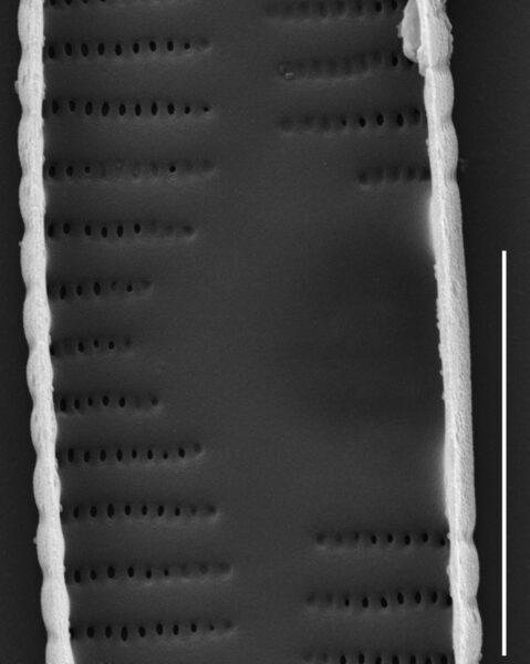 Fragilaria recapitellata SEM3