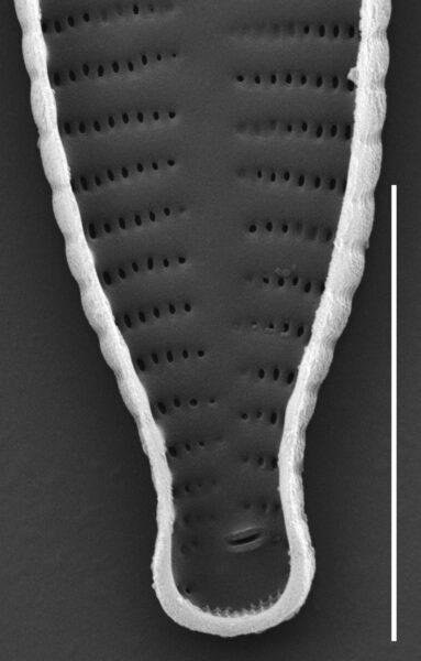 Fragilaria recapitellata SEM4