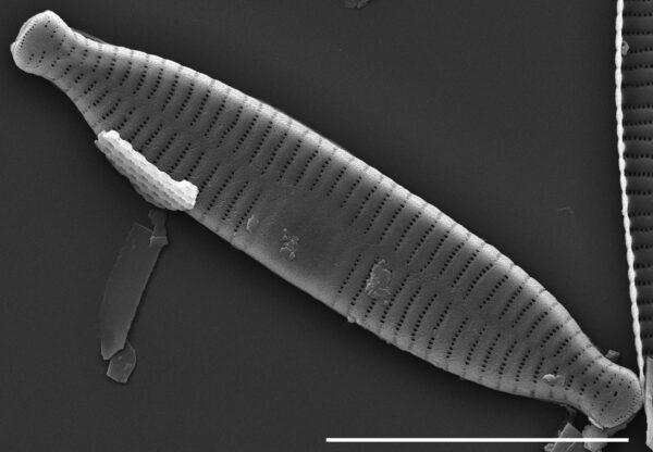Fragilaria recapitellata SEM1