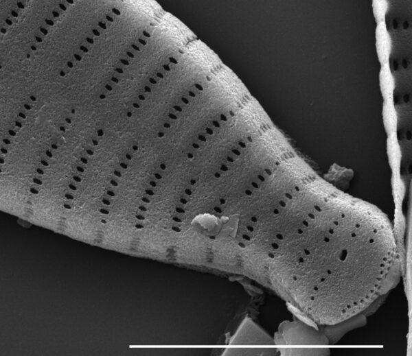 Fragilaria recapitellata SEM2