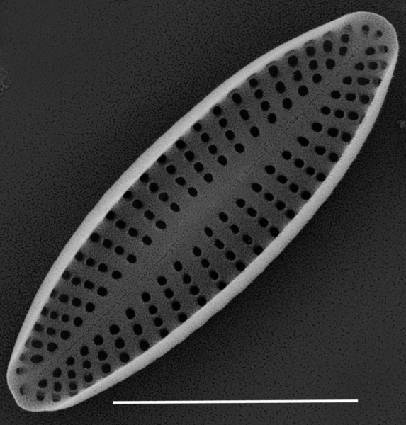 Achnanthes subhudsonis var kraeuselii SEM2