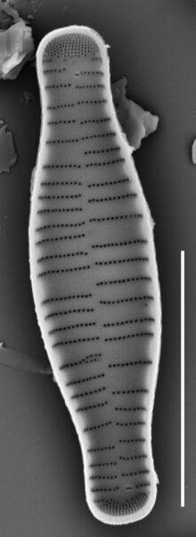 Fragilariforma bicapitata SEM1