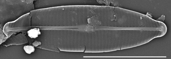 Craticula accomoda SEM1