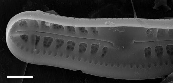 Achnanthidium kriegeri SEM2