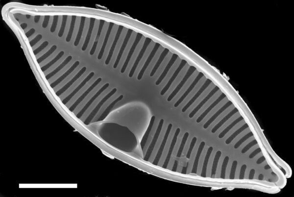 Planothidium lanceolatoide SEM3