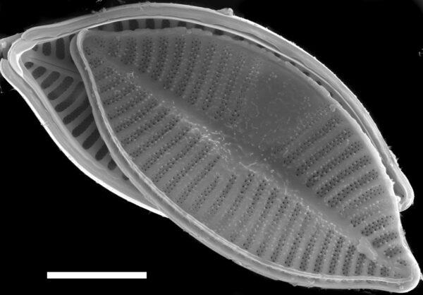 Planothidium lanceolatoide SEM2