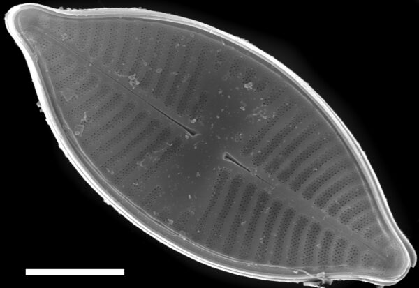 Planothidium lanceolatoide SEM1