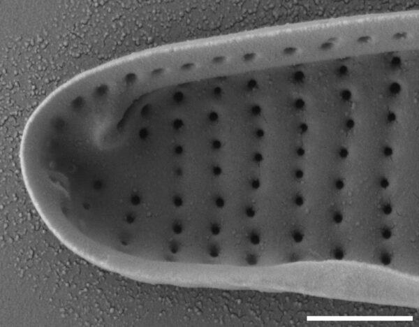 Eunotia panda SEM2