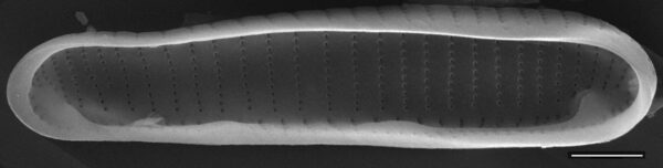 Eunotia rhomboidea SEM1