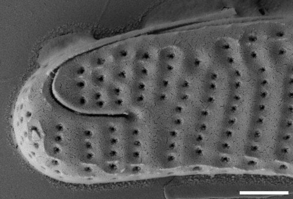 Eunotia panda SEM1