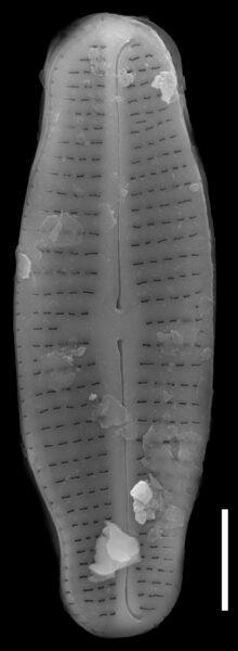 Achnanthidium latecephalum SEM2