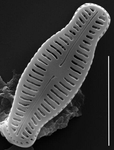Humidophila schmassmanni SEM1