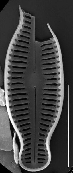 Humidophila schmassmanni SEM2