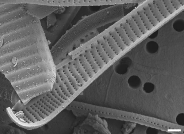 Eunotia spatulata SEM1