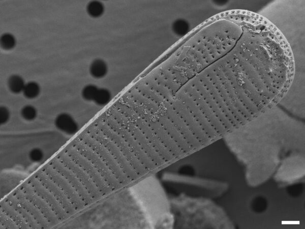 Eunotia spatulata SEM2