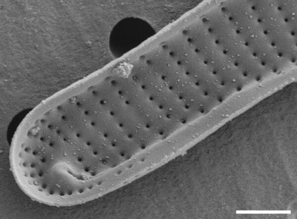 Eunotia mucophila SEM2