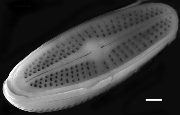 Achnanthidium minutissimum SEM1