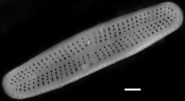Achnanthidium minutissimum SEM3