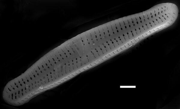Achnanthidium minutissimum SEM4