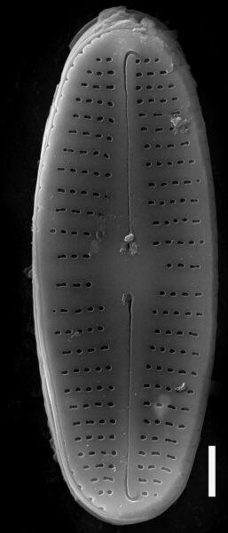 Achnanthidium rivulare SEM1