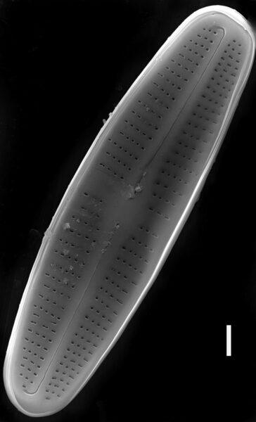 Achnanthidium rivulare SEM2