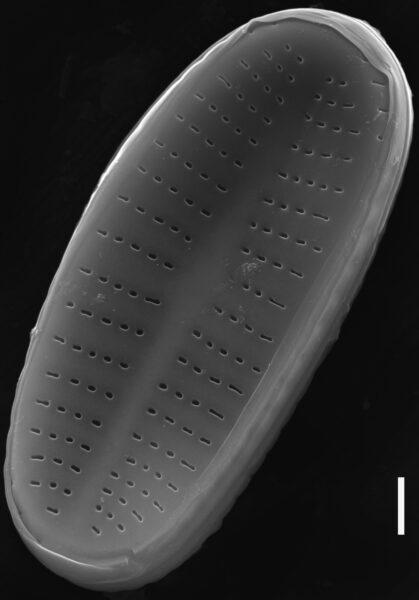 Achnanthidium rivulare SEM3