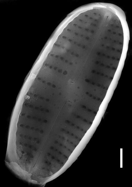 Achnanthidium rivulare SEM4