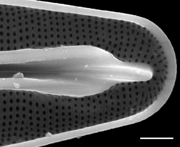 Frustulia amphipleuroides SEM1