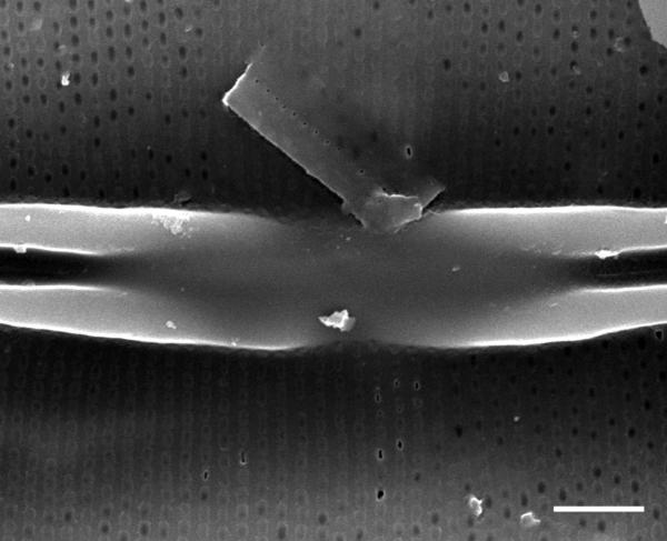 Frustulia amphipleuroides SEM3