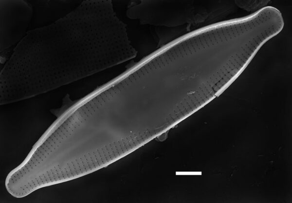 Nupela pennsylvanica SEM1