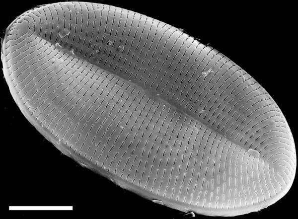 Cocconeis placentula SEM4