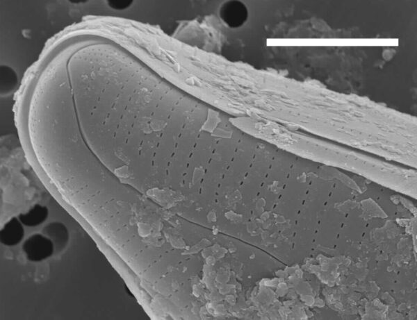 Cymbopleura edlundii SEM1