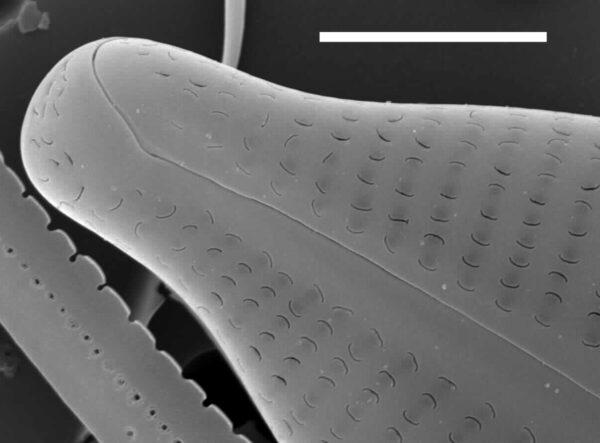 Cymbopleura sublanceolata SEM1