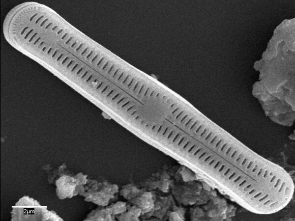 Humidophila pantropica SEM1
