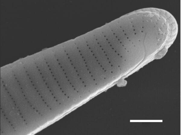 Eunotia macroglossa SEM1