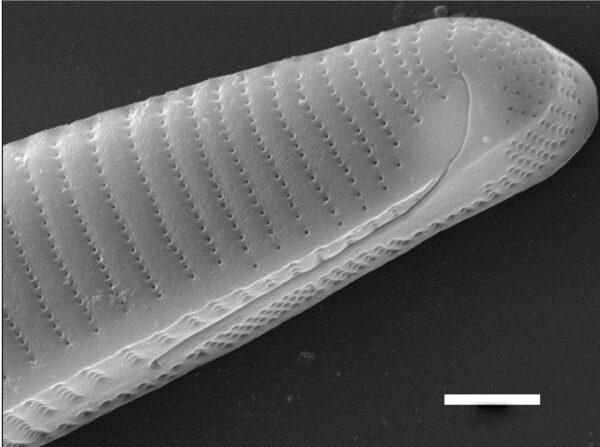 Eunotia macroglossa SEM2