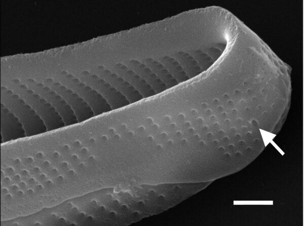 Eunotia macroglossa SEM3